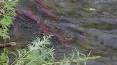Spawning sockeye salmon on river in Kamchatka Stock Footage