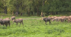 Pere Davids deer, migrating herd Stock Footage