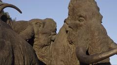 Samarovsky outlier. Archeopark. A herd of mammoths. Medium shot. Stock Footage