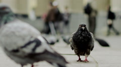 Solemn pigeon going on road Stock Footage
