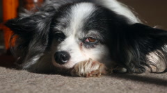 Papillon pet dog lying down tired after exercise Stock Footage