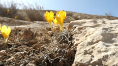 Yellow flowers in the desert Stock Footage