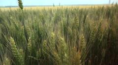 Some ears of wheat swinging in the wind agricultural farm food industry 4k UHD Stock Footage