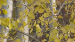 TREES COVERED WITH COLOURED LEAVES Stock Footage