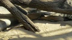 Komodo dragon in the zoo Stock Footage