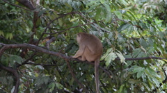 Macaque monkey sitting, Malaysia Stock Footage