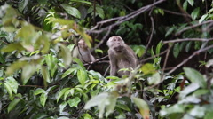 Macaque monkeys playing, Malaysia Stock Footage