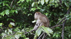 Macaque monkey eating, Malaysia Stock Footage