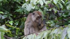 Macaque monkey tasting food, Malaysia Stock Footage