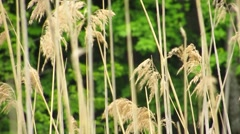 Rushes in the swamp Stock Footage