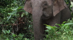 Borneo pygmy elephants in the rainforest, close-up Stock Footage
