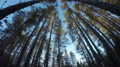 Mighty tall pine tree forest in autumn catching cold breeze, 4K resolution Stock Footage
