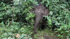 Bornean Pygmy Elephant, Borneo Stock Footage