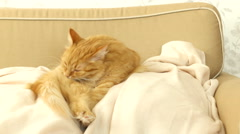 Cute ginger cat licking itself on a beige couch. Fluffy pet comfortably settled Stock Footage