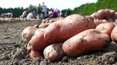 Potato on field Stock Footage