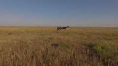 Flying over horses  in the steppe Stock Footage