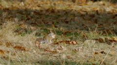Grey or Gray Squirrel (Sciurus carolinensis) feeding on chestnuts Stock Footage