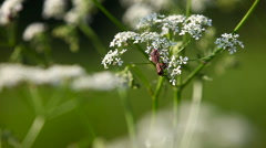 Close up video of bugs on flower. Natural summer background Stock Footage