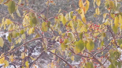 Autumn forest in the snow, berries on the branches Stock Footage