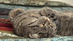 Tired cat resting on bed. Cute and peaceful film clip of relaxing pet. Stock Footage
