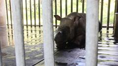 Injured sabah rhinoceros, Borneo Stock Footage