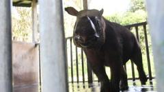 Injured sabah rhinoceros Stock Footage
