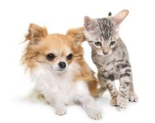 Silver bengal kitten and chihuahua Stock Photos