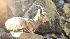 Siberian ibex (Capra sibirica) Stock Footage