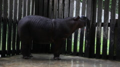 Endangered animal, Sumatran rhinoceros Stock Footage