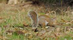 Grey or Gray Squirrel (Sciurus carolinensis) burying or caching an acorn Stock Footage