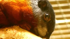 Asian tri-colored squirrel, Callosciurus prevostii Stock Footage
