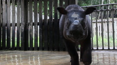 Male Sumatran rhinoceros, Borneo, protection area Stock Footage