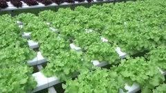 Hydroponics vegetables growing in greenhouse, Thailand Stock Footage