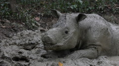 Cute Sumatran rhinoceros Stock Footage
