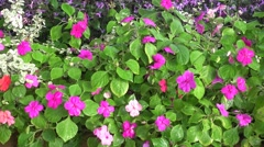 Beautiful Impatiens in greenhouse Stock Footage