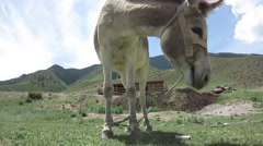 Donkey grazing on a mountain meadow Stock Footage