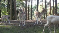 4k Fallow deers herd with albino in sunny conifer forest close up low angle shot Stock Footage
