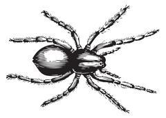 Lycosa fatifera or Wolf Spider Stock Illustration