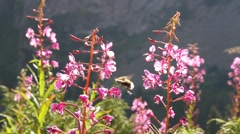 Bees pollinate a plant Stock Footage