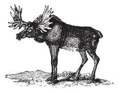 Elk or Wapti, vintage engraving. Stock Illustration