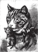 Cat with kitten, vintage engraving. Piirros