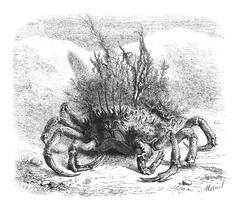 The Maia: female spider crab, covered with moss and seaweed; quarter of the s Stock Illustration