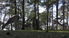 4k Fallow deers herd backlight shot in sunny conifer forest close up low angle Stock Footage