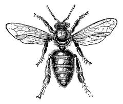 Worker Bee, vintage engraving. Stock Illustration