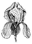 White Iris or Iris albicans, vintage engraving Stock Illustration