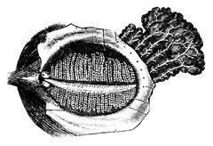 Deep Surface of the Human Eyelid with the Nasolacrimal Gland, vi Stock Illustration