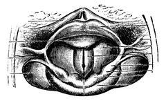 Normal Larynx, vintage engraving Stock Illustration
