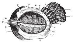 Faced with deep eyelid lacrimal gland, vintage engraving. Stock Illustration