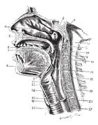 Cup antero-posterior of the oral cavity and throat back revealing the cavity Stock Illustration