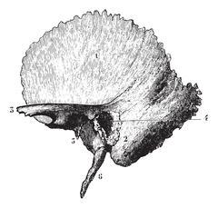 Left temporal bone, vintage engraving. Stock Illustration